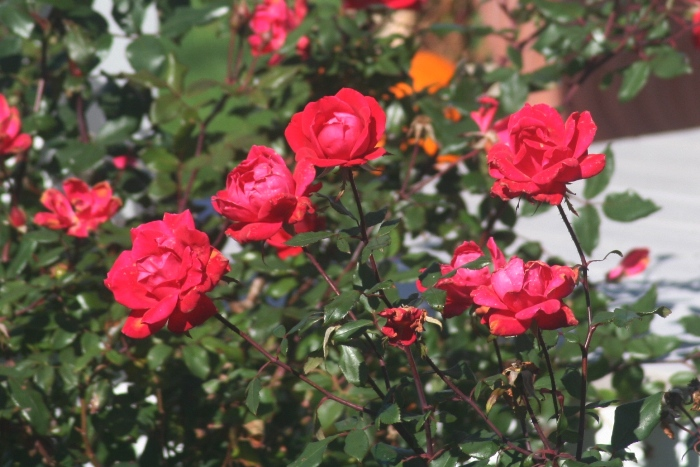 A Bed Of Red Roses Sea Cape Cod By Michael Mosier